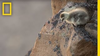 Arctic Geese Chicks Jump Off Cliff to Survive   Hostile Planet