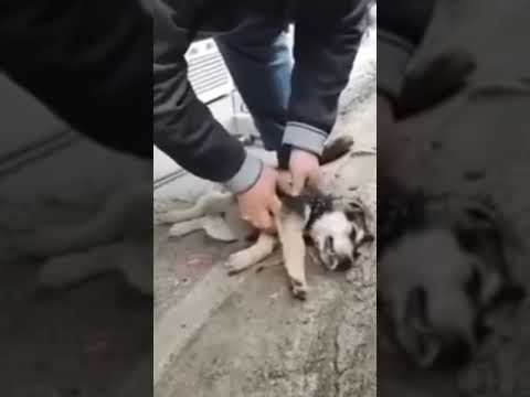 МУЖЧИНА СПАС СОБАКУ, КОТОРАЯ ПОТЕРЯЛА СОЗНАНИЕ / Life-saving rescue of unconscious street dog