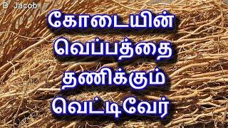 கோடையின் வெப்பத்தை தணிக்கும் வெட்டிவேர்   Tamil Health Tips