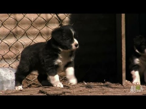 Border Collie Pups Ruffle Some Feathers   Too Cute! - Smashpipe Entertainment