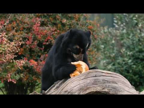 Bernie the bear just loves his honey-coated pumpkins!