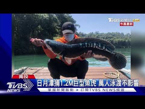日月潭捕1.2M巨型魚虎 萬人泳渡不影響