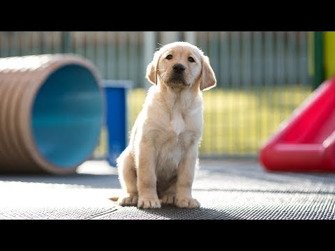 Meet Banjo - The Toyota GB Guide Dog Puppy
