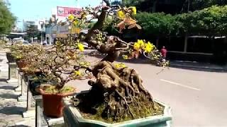 Dàn Mai Bonsai của anh Bùi Nhàn Quy Nhơn-Bonsai Binh Dinh