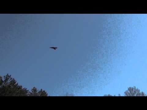 Common Raven Release