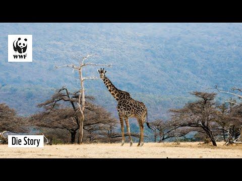 Beton in der Wildnis? I Staudamm durch Selous   WWF Deutschland