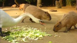Capybara funny videos with animals in 2016