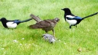 Sparrowhawk catches Wood Pigeon and is then harassed by two Magpies