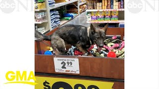 An 'impawssible' choice! Excited German Shepherd dog dives into box of pet toys
