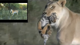 Lioness helps tigress to raise cubs