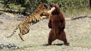 МЕДВЕДЬ В ДЕЛЕ! Медведь против льва, тигра, волка...