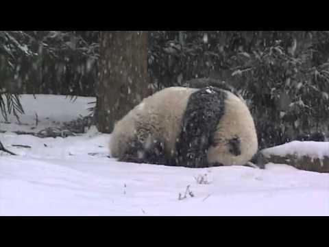 Pande uživaju na snegu