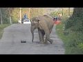 Young Elephant Blocks Road Playing Football..