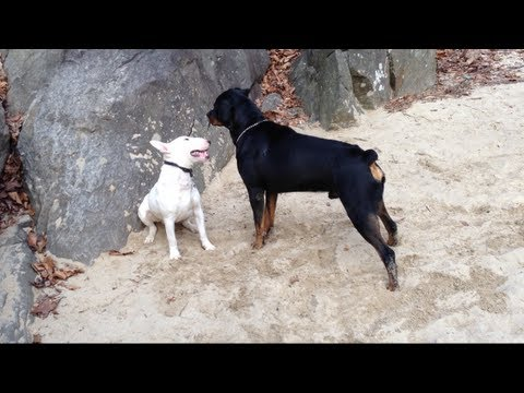 Pit Bull Vs Rottweiler Fight Rottweilers Video