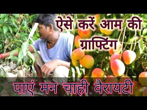 सिर्फ 15 दिन में तैयार करें मन चाहे आम की पौधे की वैरायटी / Mango Tree Grafting  Easily.