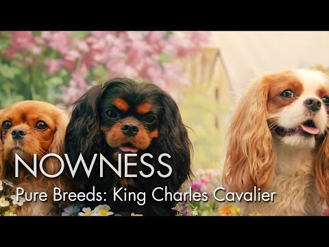 Video zu Cavalier King Charles Spaniel