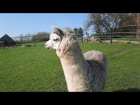 Lama alpaka Siri poprvé komunikuje se členkami svého nového stáda