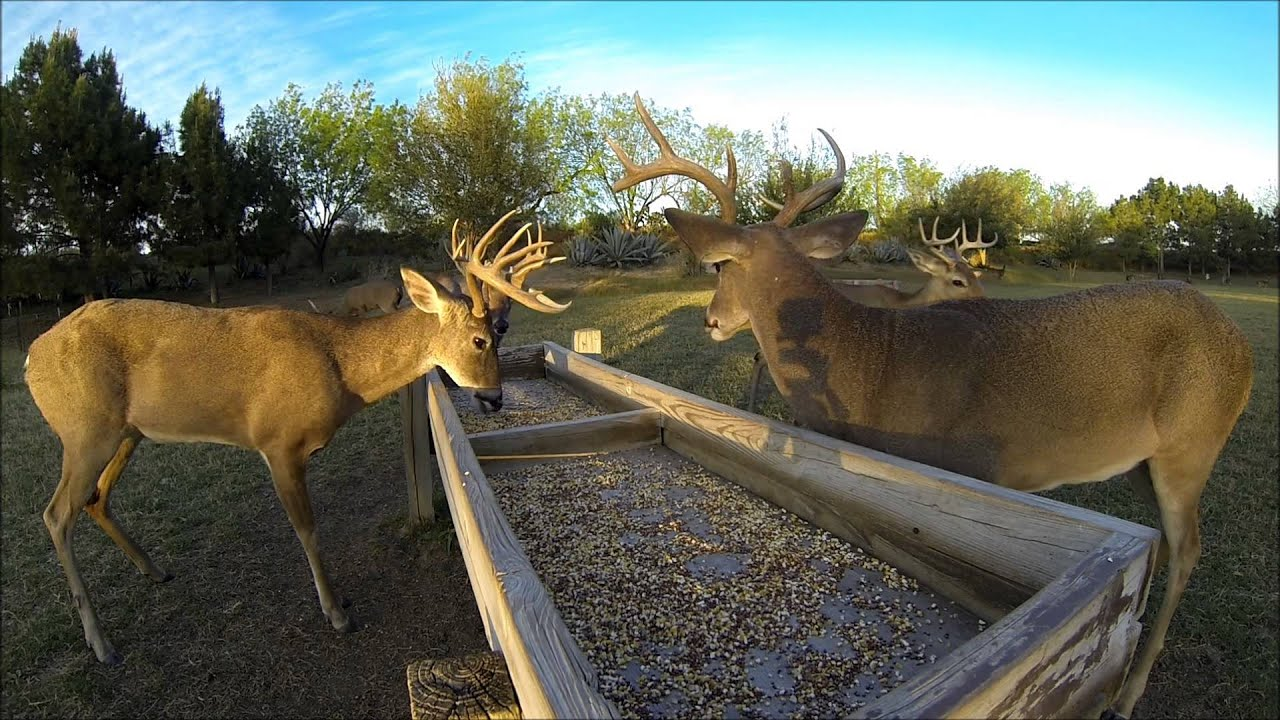White Tailed Deer At Food Trough La Bota Ranch Youtube
