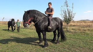 Pereche de negri | Armasarii lui Lupu Sor de la Orlat, Sibiu 2018 Nou!!!