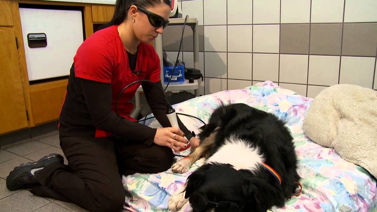 Cold Laser Therapy Speeds Healing For Dogs And Cats Youtube