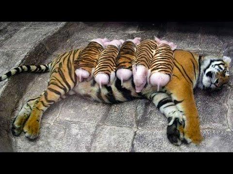 Тигрица Усыновила Поросят и Растит Их Как Своих Собственных Деток