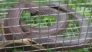 Bẫy rắn Hổ hành