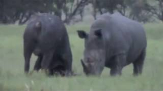Epic Battle of Rhino vs. Buffalo (Original Film)