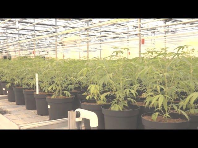 加拿大娛樂用大麻合法開賣