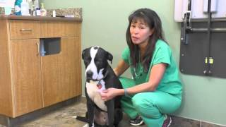 How to induce vomiting in your dog   Dr Justine Lee