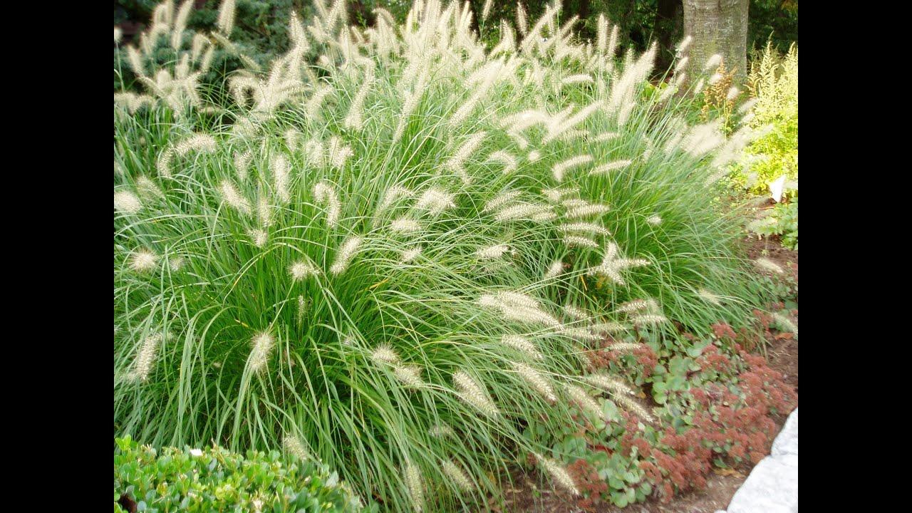 Dwarf Fountain Grass Pennisetum Alopecuroides Hameln