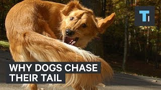 What It Could Mean When Your Dog Chases Its Tail