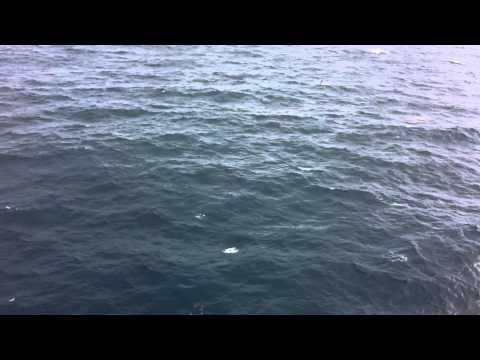 Flying Fish In the Atlantic Ocean