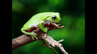 The Animal Sounds: Frog《HIGH QUALITY 》 │SOUND EFFECT │FREE DOWNLOAD