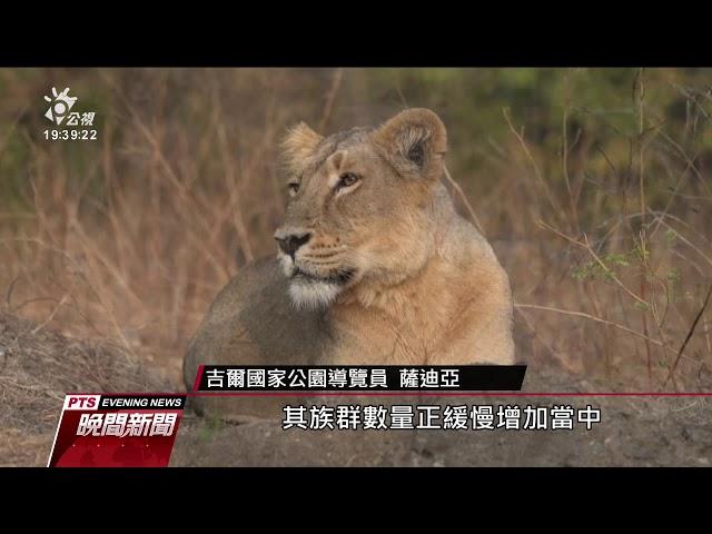 保育僅存數百隻亞洲獅 印度人員費心思
