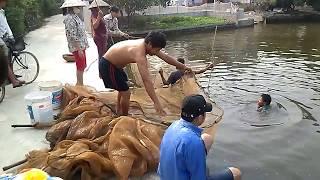 Quê Tôi Hải Dương - Kéo lưới cá mè trong ao