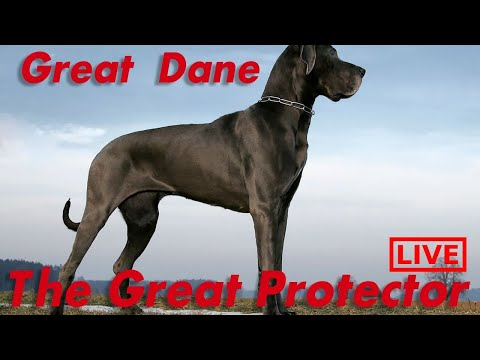 GREAT DANE PROTECTS FAMILY FROM INTRUDER - LIVE ANALYSIS
