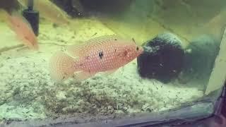 Red jewel cichlids breeding pair