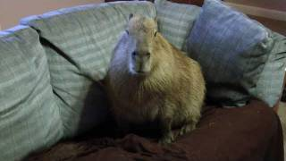 A Very Special Capybara  Most Adorable Animal In The World 世界で最も愛らしい動物