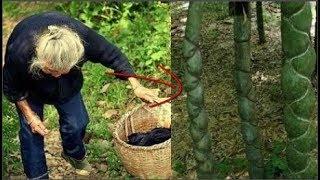 Mẹ già lên rừng phát hiện cây tre lạ mang về đốn củi, con trai vừa thấy đã hét lớn: 'Phát tài rồi!'