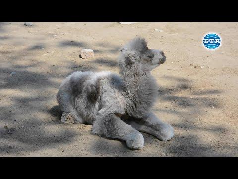 BTA: Бяло двугърбо камилче се роди във Варненския зоопарк