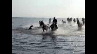 Chevaux et camargue dans l'eau