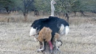 Ostriches Mating in Front of Tourists