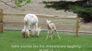 Alpaca Giving birth!