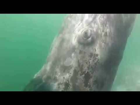 Baby Gray Whale Has the Spins!