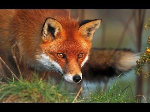 Lov na lisice