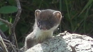 Baby Stoat - @ Dovedale 2016