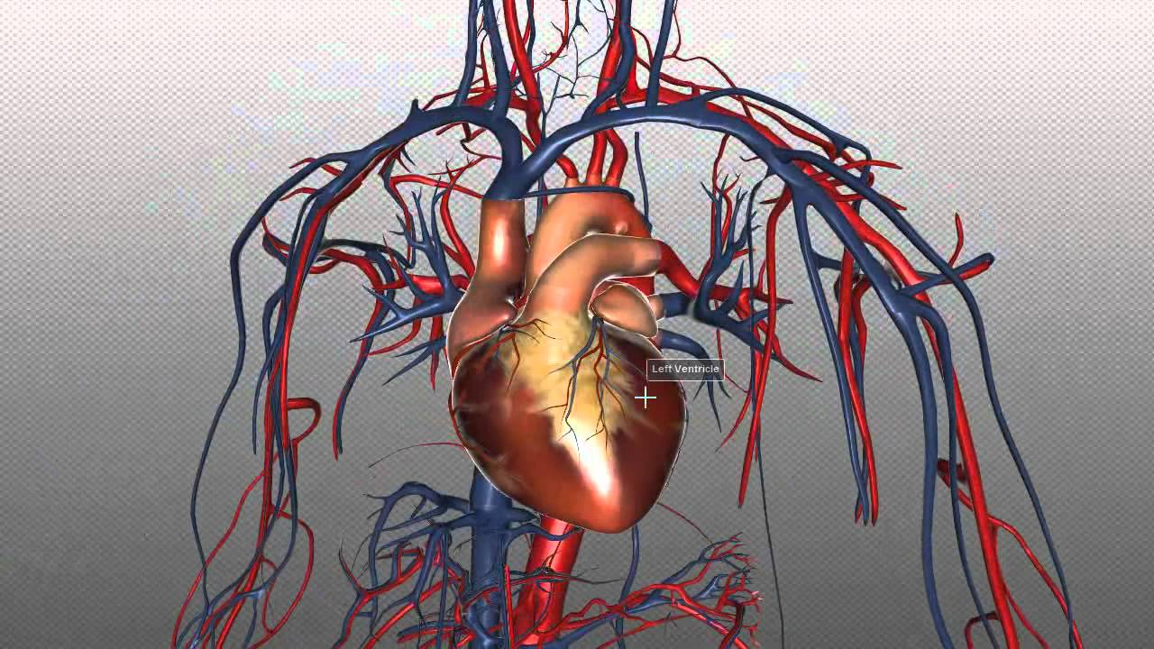 The Heart and Major Vessels - PART 1 - Anatomy Tutorial ...