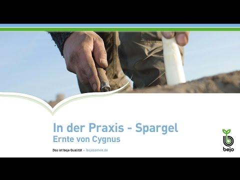 BEJO  |  In der Praxis - Spargel  |  Ernte von Cygnus
