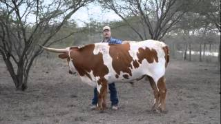 Texas Longhorn Cattle Tour at The Vertically Challenged Cattle Company (12/16/2012)