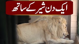 How Do Lions Live In Karachi Zoo?   Watch The Video Of Beautiful Wild Creatures